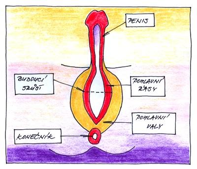 13. týden těhotenství - mužské pohlaví