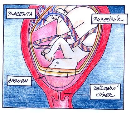Plod v děloze před porodem
