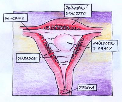 6. týden těhotenství - umístění zárodku v děloze