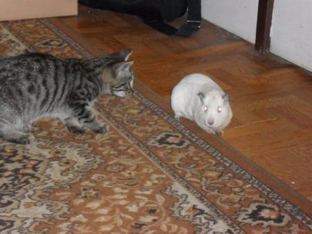 kočka a morče