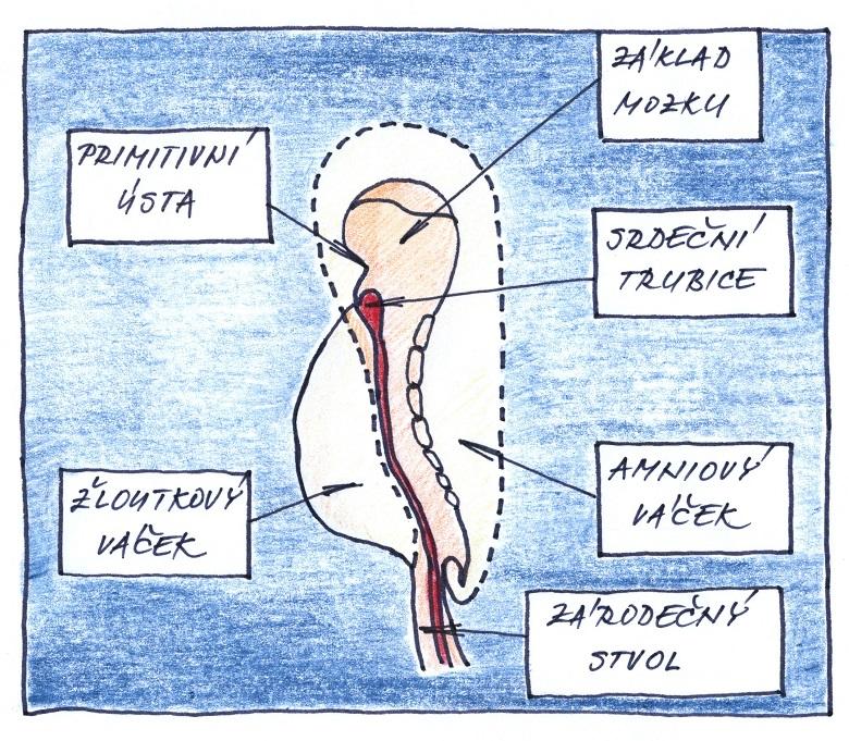 5. týden těhotenství