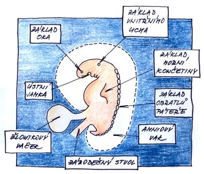 6. týden těhotenství - zárodek