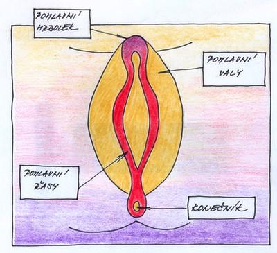 10. týden těhotenství - pohlaví zárodku
