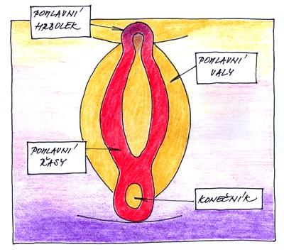 11.-12. týden těhotenství - vývoj pohlaví